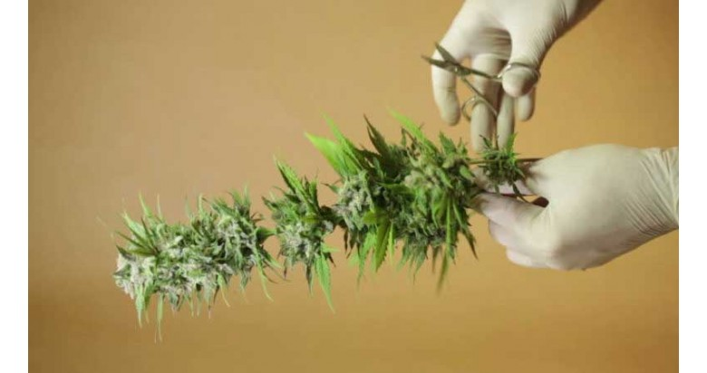 How to dry your weed crop?